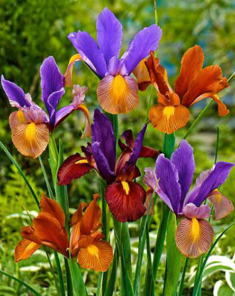 Dutch Iris Tiger Mix