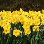 Daffodil flower bulb collection - flowering in Spring
