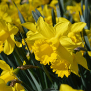 Daffodil bulbs - Yellow spring bloomers