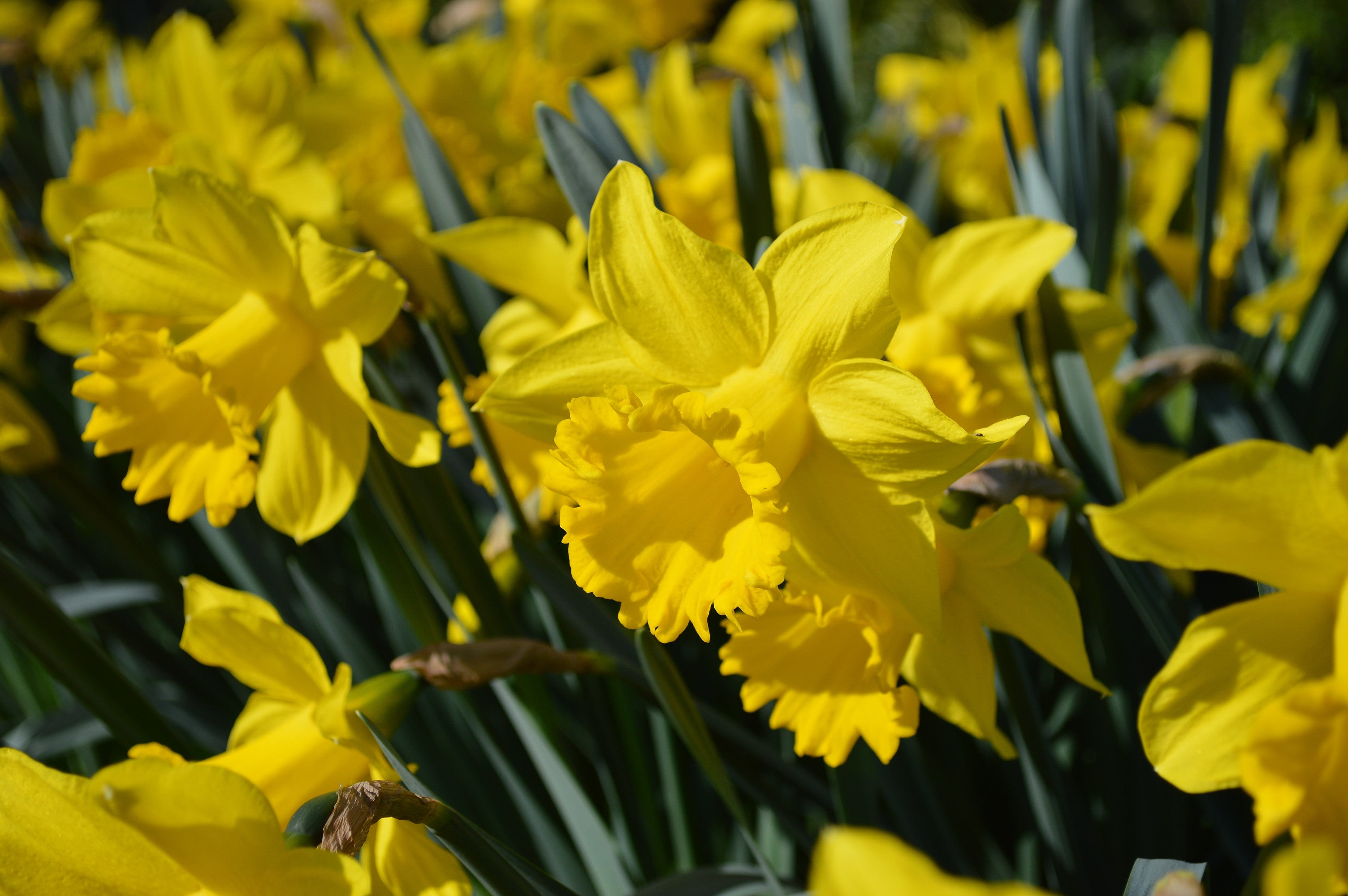 Eight Weeks Of Daffodils Landscapers Special Dutchgrown