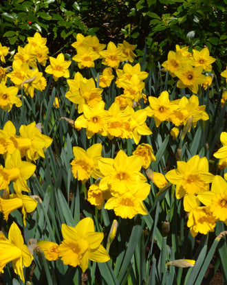 Yellow flowering bulbs dutchgrown daffodil flower bulbs yellow spring flowers mightylinksfo