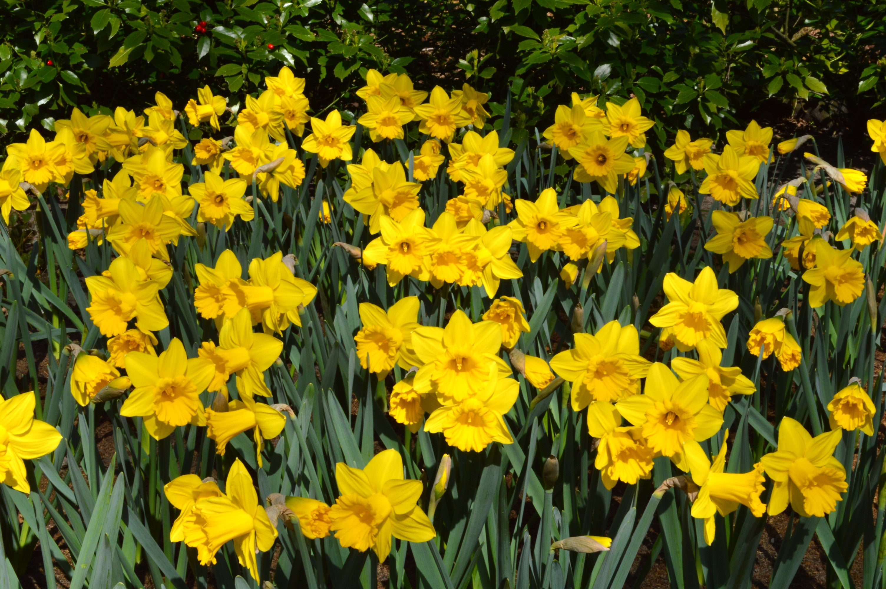 Eight weeks of daffodils landscapers special dutchgrown eight weeks of daffodils size 1214 bulbs daffodil flower bulbs yellow spring flowers mightylinksfo