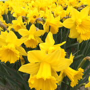 Daffodil flower bulb mix - Yellow colors springtime