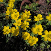 Winter Aconite flower bulbs - Eranthis