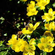 Winter Aconite bulbs - Eranthis