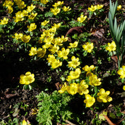 Eranthis flower bulbs - Winter Aconite