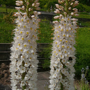 Foxtail Lily Flower Bulbs