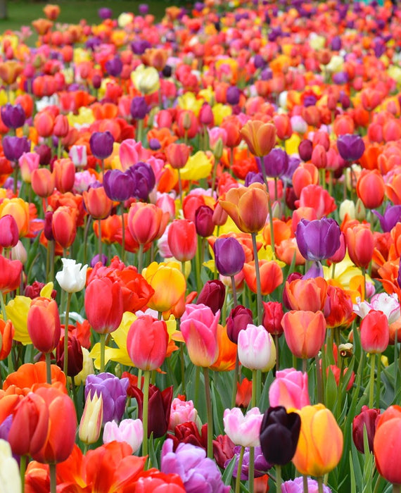 Eternal Spring Tulip Mix