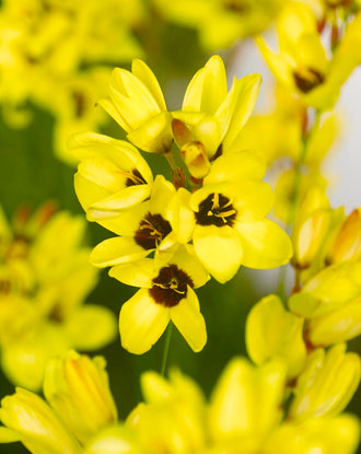 Ixia Yellow - Fall Planted Flower Bulbs