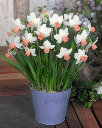 Mini Daffodil Cha Cha - Pure white and pink narcissus for pots and borders