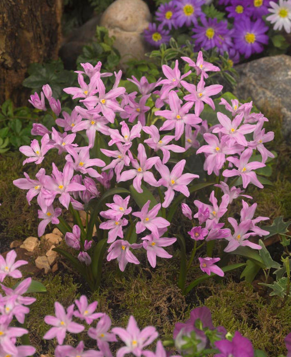Chionodoxa Lucilea Rose Queen (Glory of the Snow)