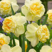 Daffodil Art Design - Another Garden Beauty by DutchGrown