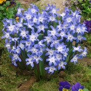 Chionodoxa Lucilea (Glory of the Snow) - Blue Easy Naturalizing Bulbs