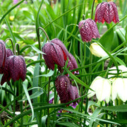 Fritillary Meleagris, Purple and White bell shaped flowers