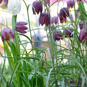 Fritillaria Meleagris Flower Bulbs - Spring blooming - Fall planting