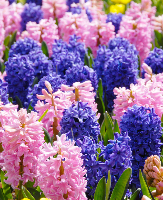 Pink and Blue Hyacinths