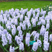 Hyacinth Bulbs Blue Eyes Light Blue