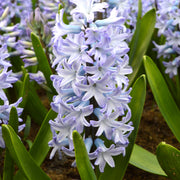 Hyacinth Blue Eyes