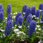 Hyacinths Blue Jacket Flower Bulbs USA