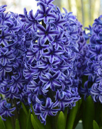 Hyacinth Blue Jacket Flower Bulbs