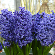 Hyacinth Bulbs Blue Jacket