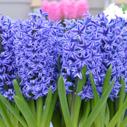 Dark Blue Hyacinth Flower Bulbs USA