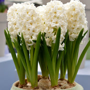 White Hyacinth Bulbs For Fall Planting USA