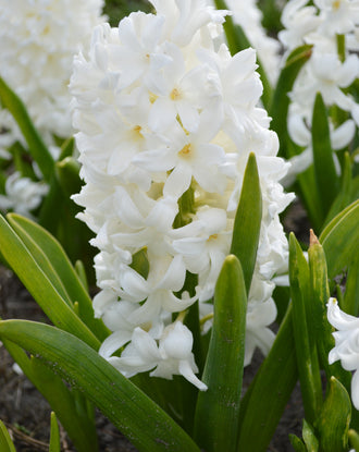 Hyacinth Carnegie White Flower Bulbs USA