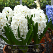 White Hyacinth Bulbs Carnegie USA
