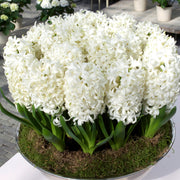 Hyacinth Bulbs Carnegie White