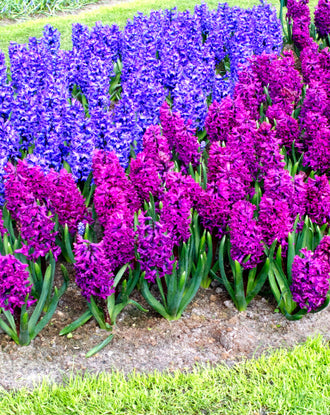 Blue and Purple Hyacinths