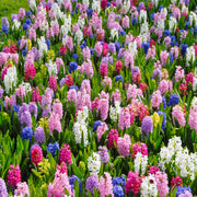 Wholesale Hyacinth Bulbs