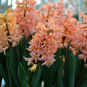 Salmon/orange spring bulbs for fall planting hyacinth Gipsy Queen