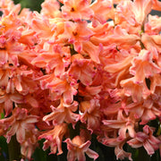 Gipsy Queen hyacinth Flower Bulbs Salmon