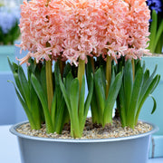 Orange and Salmon Flower Bulbs Hyacinth Gipsy Queen