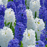 White and Blue Hyacinths