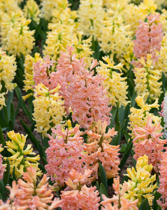 Yellow and Peach Hyacinths