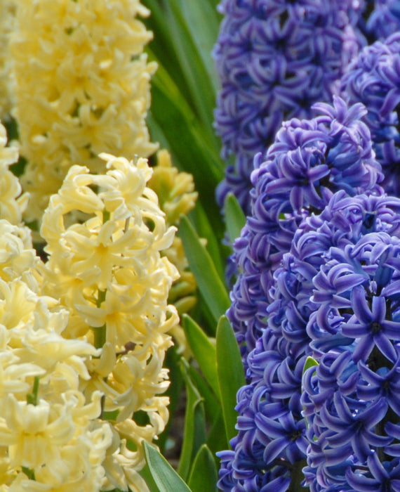 Hyacinth Miami Mix