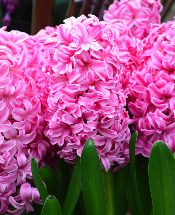 Hyacinth Pink Pearl Flower Bulbs USA