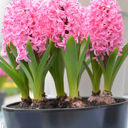 Pink Spring Bulbs for Fall Planting Pink Pearl USA