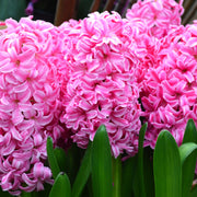 Pink Pearl Hyacinths Flower Bulbs USA