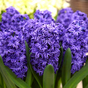 Royal Navy Hyacinth Flower Bulbs