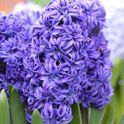 Double Hyacinth Royal Navy Dark Blooms Double Florets