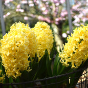 Yellow Queen Hyacinths Flower Bulbs USA
