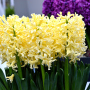Yellow Hyacinth Flower Bulbs USA