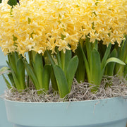 Yellow Hyacinth Queen Flower Bulbs USA