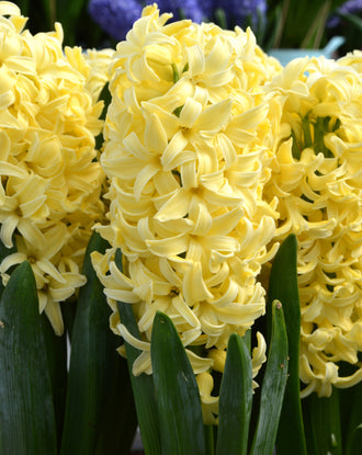 Hyacinth Yellow Queen Flower Bulbs USA