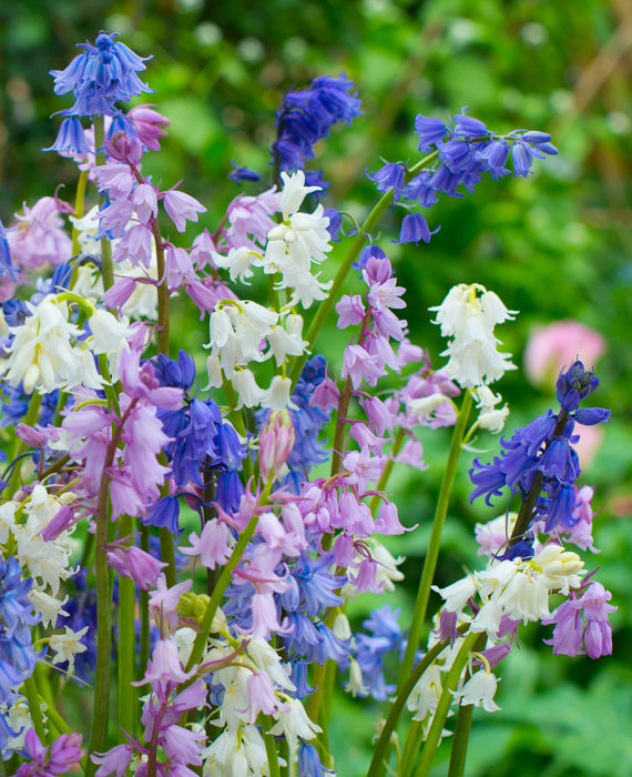 Spanish Bluebell bulbs