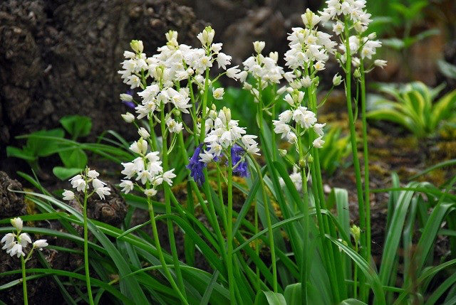 Spanish bluebells bulbs white dutchgrown it will be available for pre ordering next february mightylinksfo
