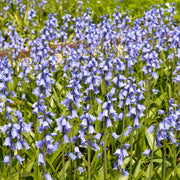 Excelsior Blue bulbs (Spanish Bluebells)
